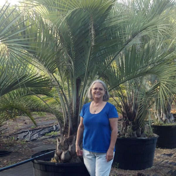 Hardy Palm Tree - Palm Fronds