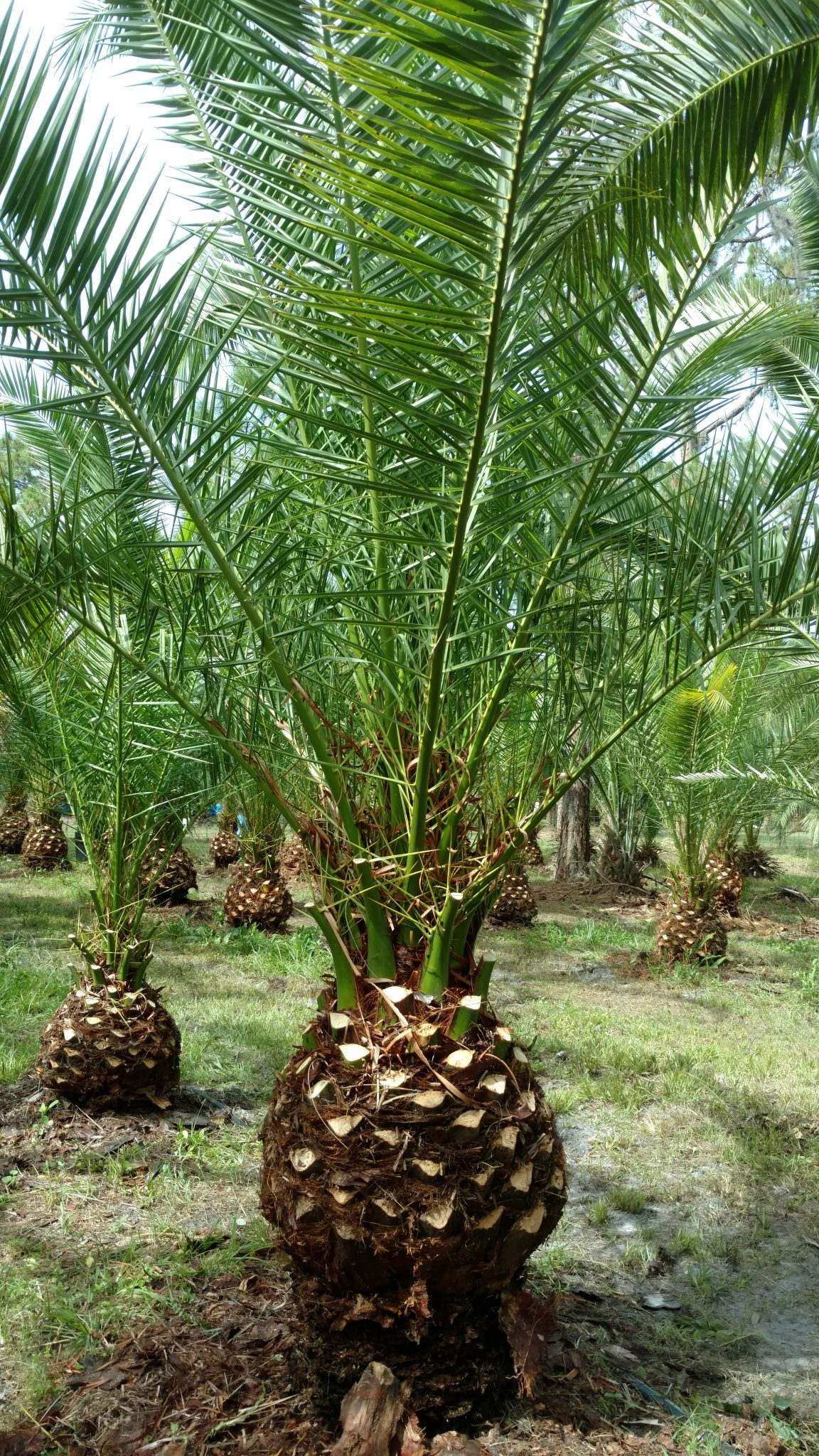 canary island date palm tree hardy palm tree farm