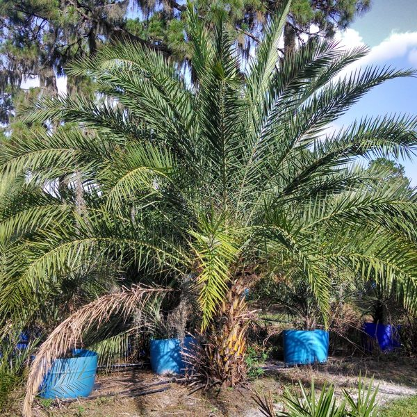 Canary Island Date Palm - 12 ft tall