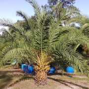 Canary Island Date Palm - 3 ft clear trunk