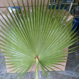 Good Fan palm