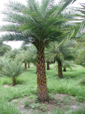 Sylvester Palm - India Wild Date Palm - Hardy Palm Trees Florida