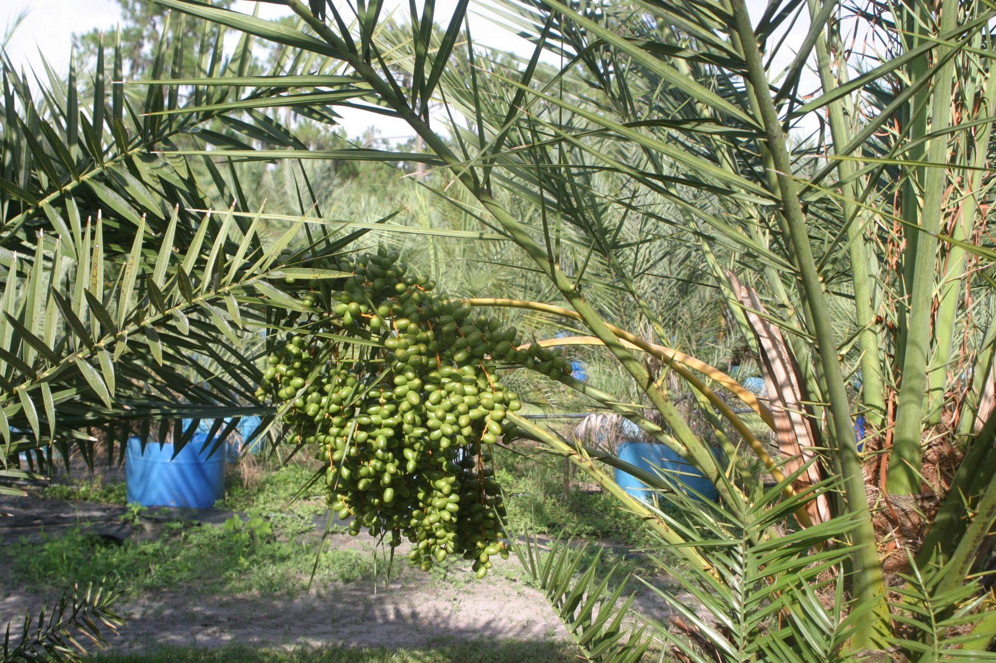 Medjool Palm - Edible Date Palms by Hardy Palm Tree Farm