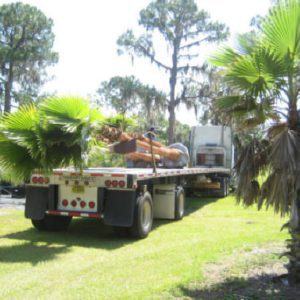 Mexican Fan Palm - Hardy Palm Trees Florida