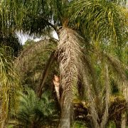 Beautiful large Queen palm.