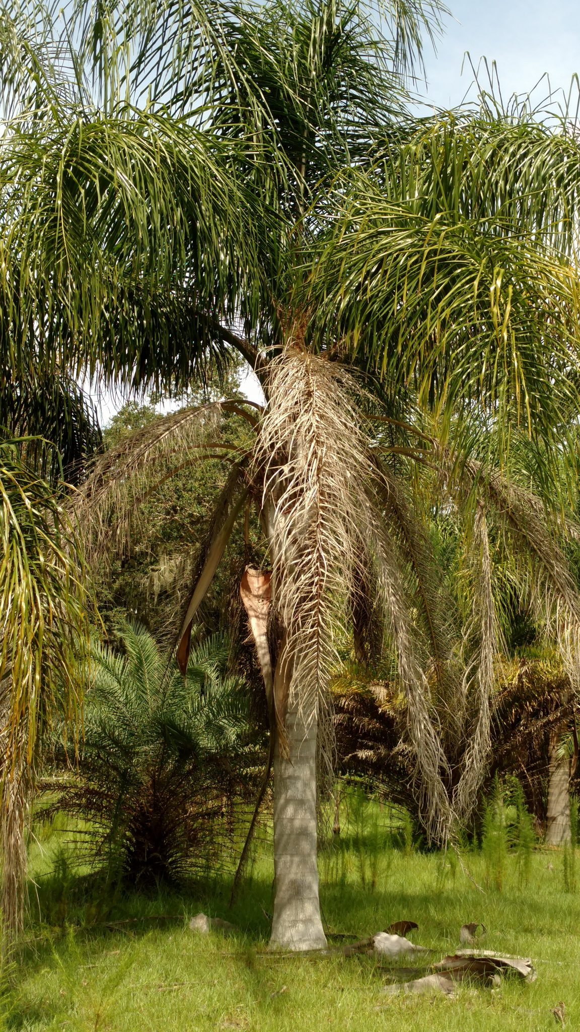 queen palm tree hardy palm tree farm
