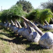 Queen Palm - Hardy Palm Trees Florida