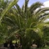Reclinata - Senegal Date Palm 4ft main trunk