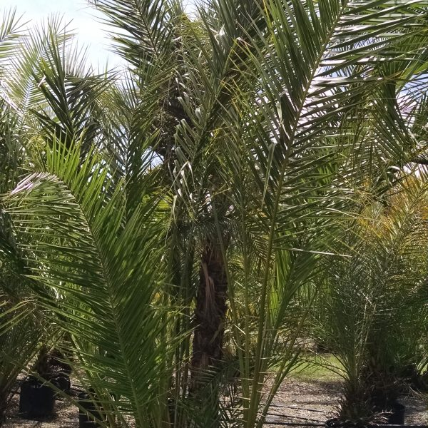 Reclinata - Senegal Date Palm 5ft main trunk