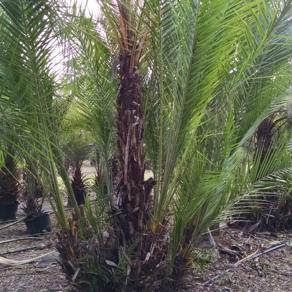Reclinata - Senegal Date Palm