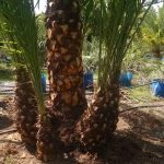 Reclinata - Senegal Date Palm special 2