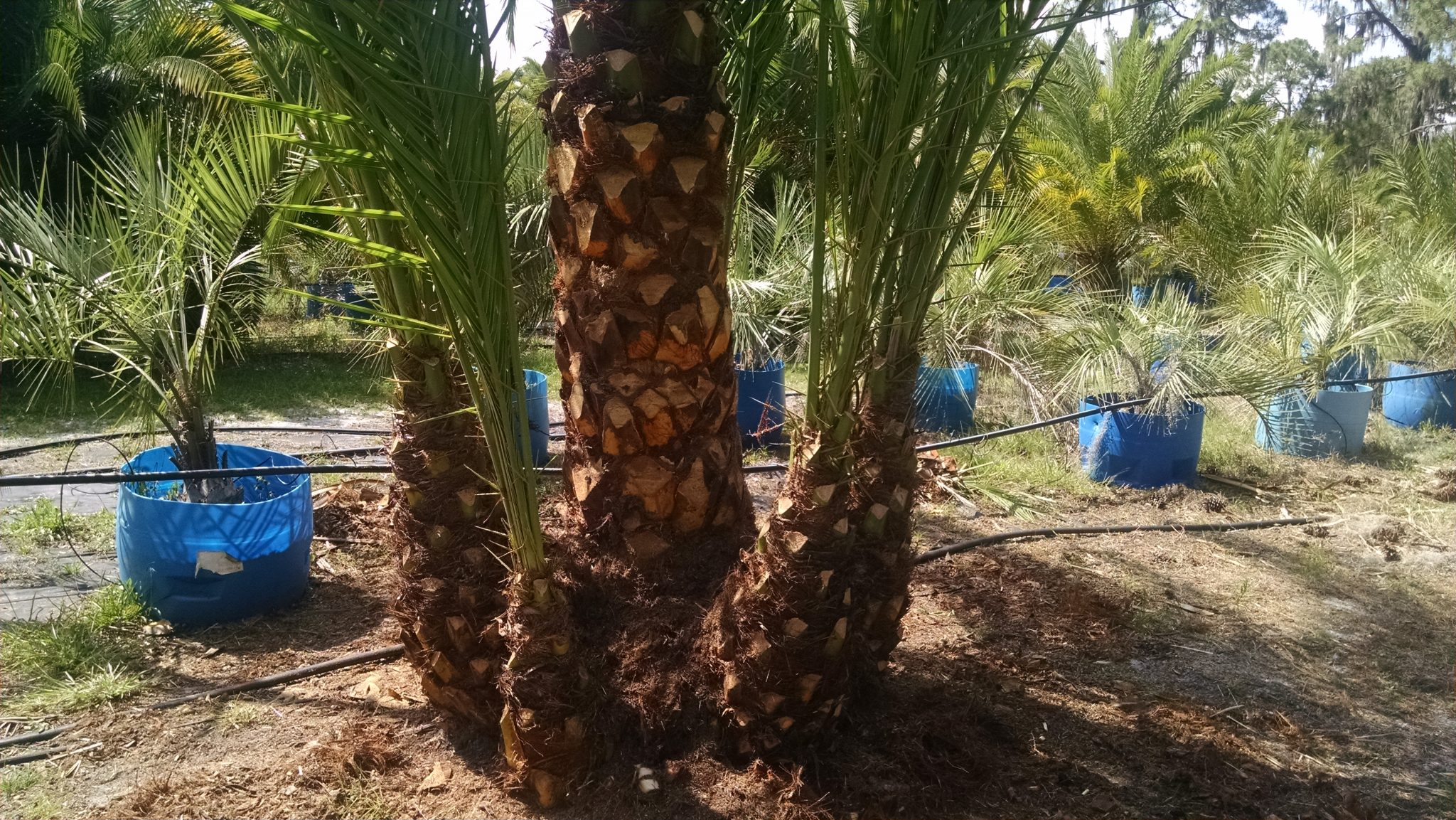 Reclinata Senegal Date Palm Hardy Palm Tree Farm