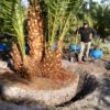 Reclinata - Senegal Date Palm special 3