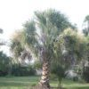 Sabal 11ft - Hardy Palm Tree Farm Plant City, Florida