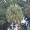 Sabal 25ft - Hardy Palm Tree Farm Plant City, Florida