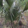 Sabal 4ft oA - Hardy Palm Tree Farm Plant City, Florida