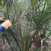 Sabal 5ft oA - Hardy Palm Tree Farm Plant City, Florida