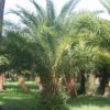 Sylvester Palm Trees - Hardy Palm Tree Farm Plant City, FL