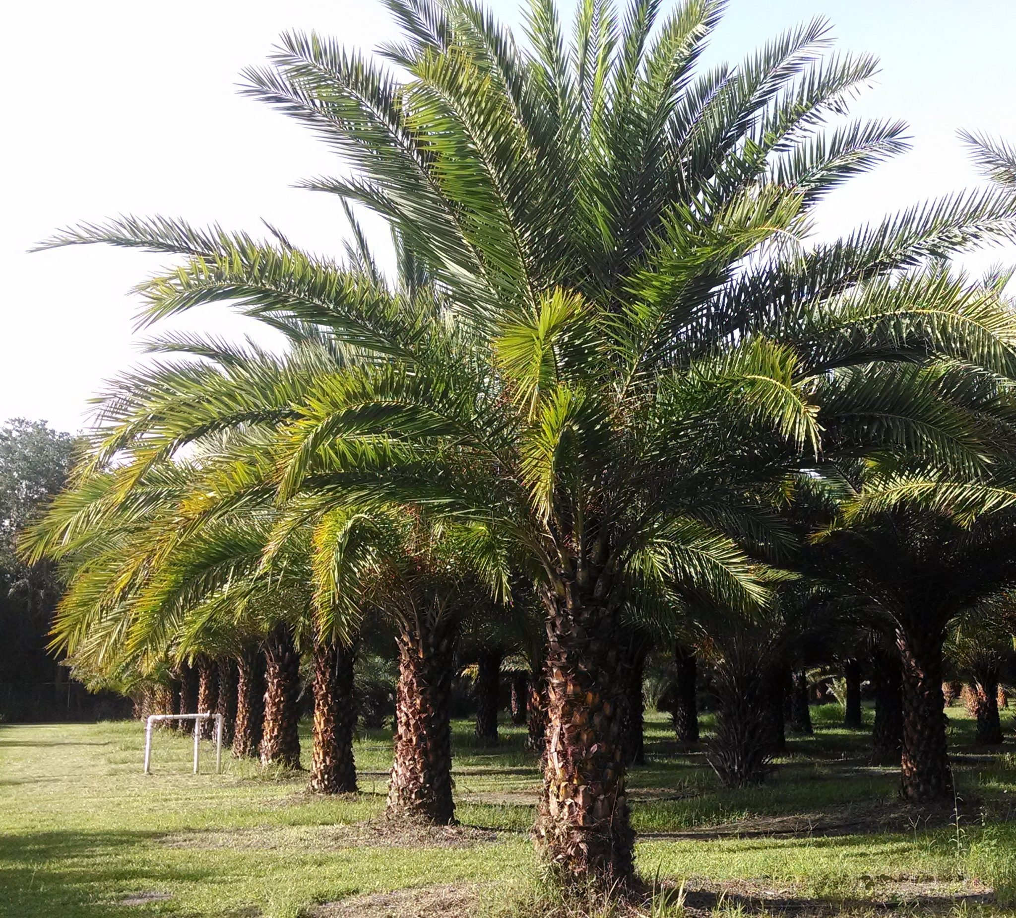Sylvester Palm Trees Hardy Tree Farm Plant City Fl