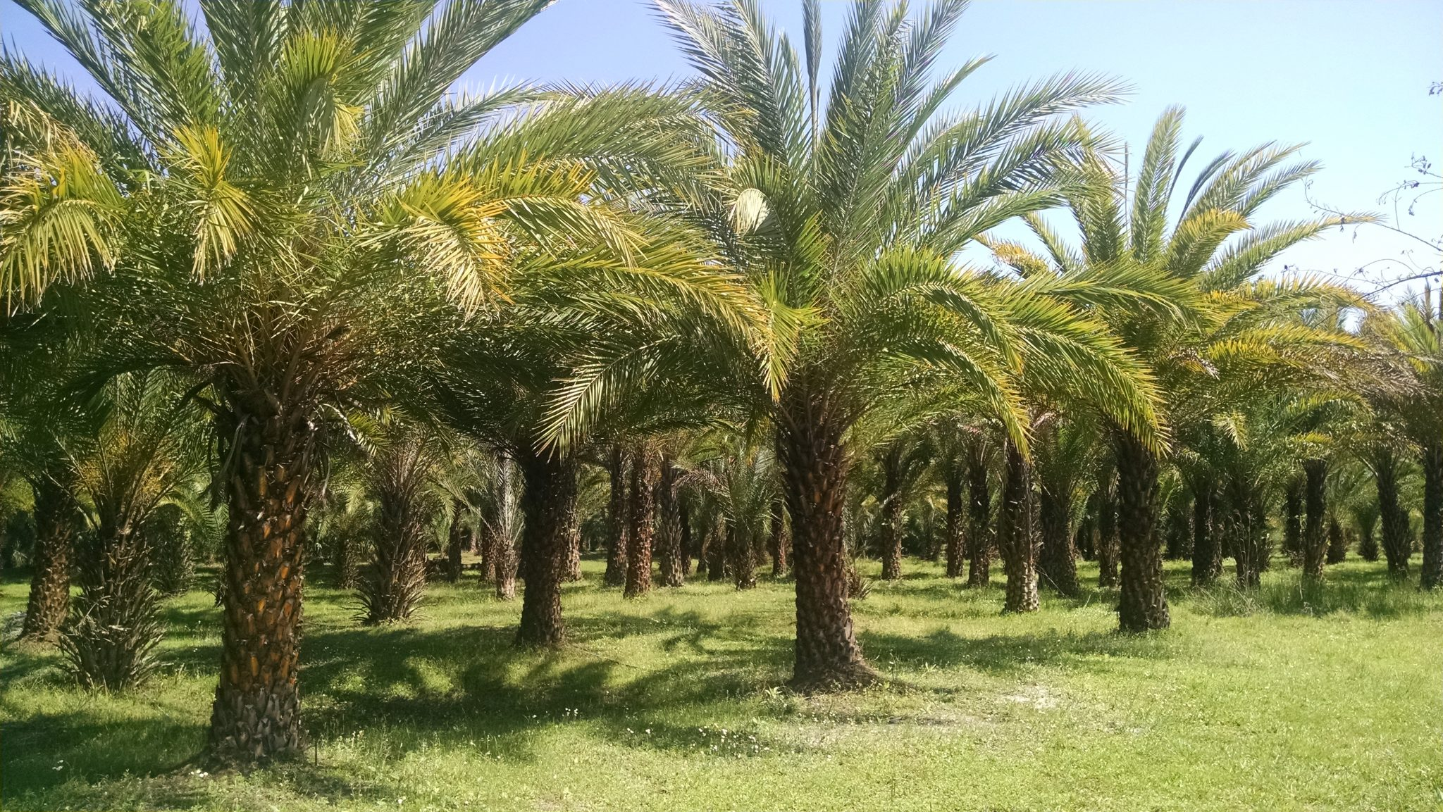 sylvester palm tree hardy palm tree farm