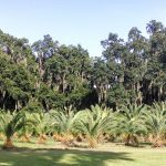 Sylvester India Date Palm
