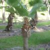 Washingtonia Palm 7ft OA
