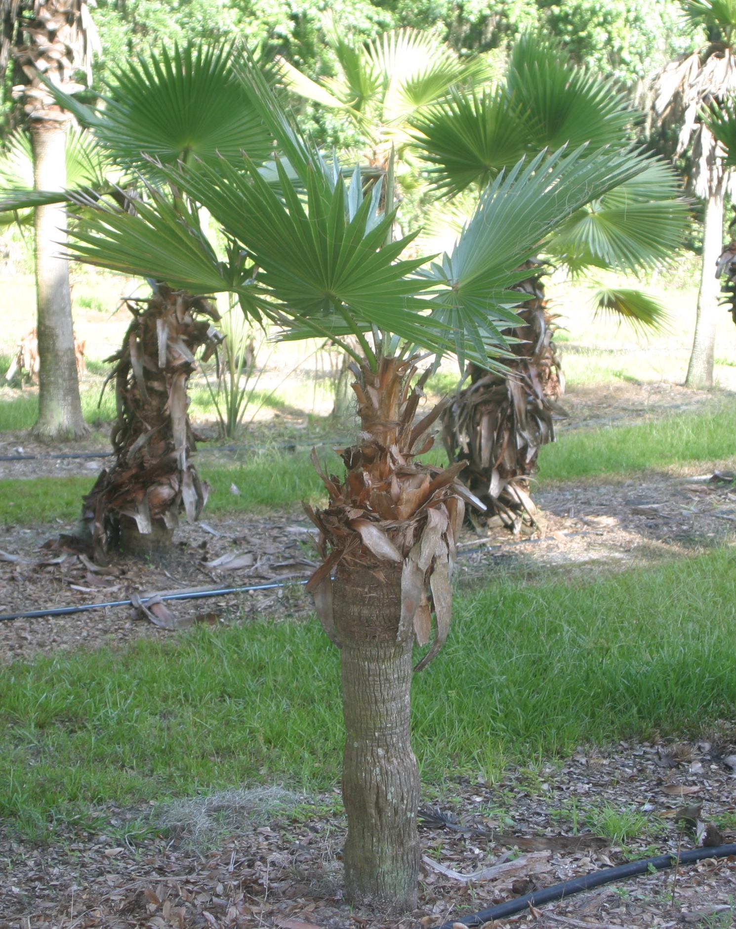 Mexican Fan Palm \u2013 Hardy Palm Tree Farm
