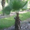 Washingtonia Palm 6ft OA