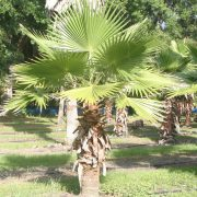 This is the tree we get the Fan palm fronds from
