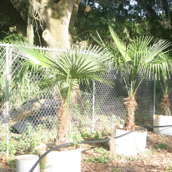 Windmill Palms 6 & 7ft - Hardy Palm Tree Farm Plant City, Florida