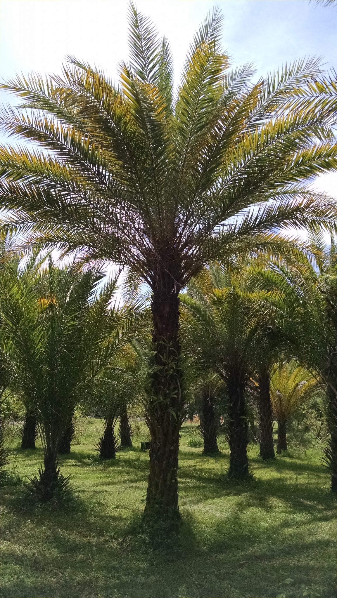 Medjool Date Palm Hardy Palm Tree Farm