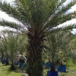 medjool 8ft CT Palm Tree
