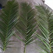 5-6ft long date palm frond