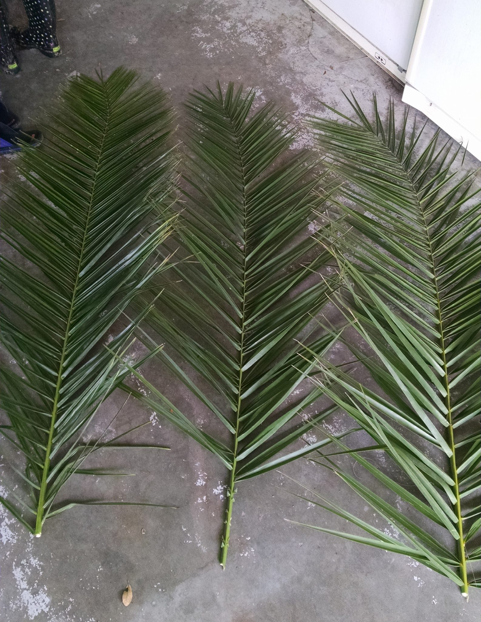 Date Palm Fronds