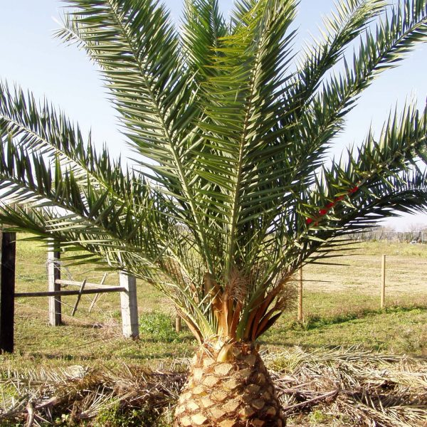 Canary Date Palm Frond